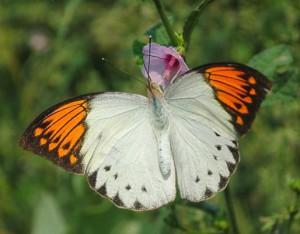 Hebomoia glaucippe female