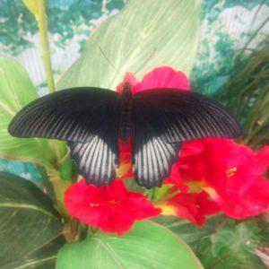 Papilio rumanzovia m 1280х1280