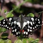 Бабочка демолея