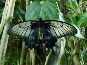 Papilio lowi f 1