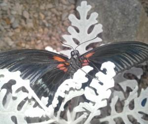 Papilio lowii m